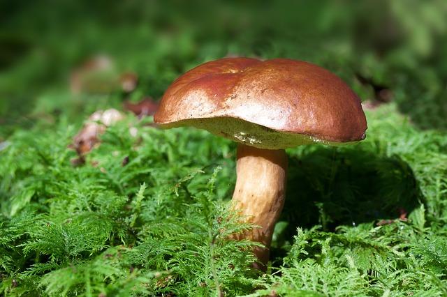 jedlá houba
